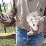 Nuisance wildlife: Two young opossum removed from a Kansas garage.